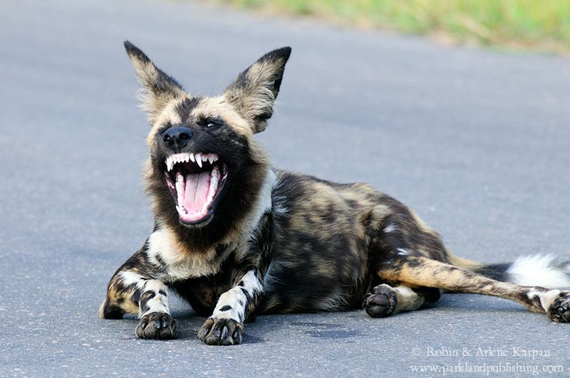 African wild dog, Kruger National Park, South Africa.