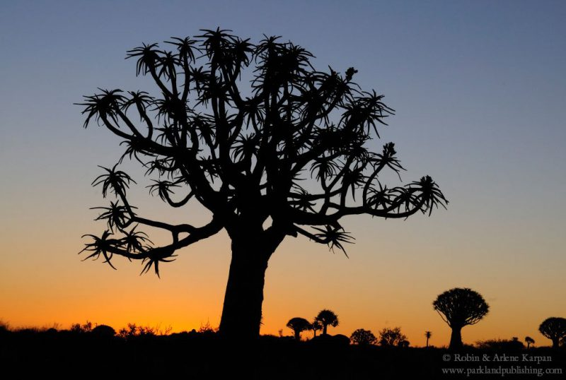 Quiver trees, Quiver Tree Forest, Namibia