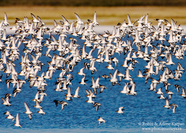 Sanderlings, Chaplin, Saskatchewan