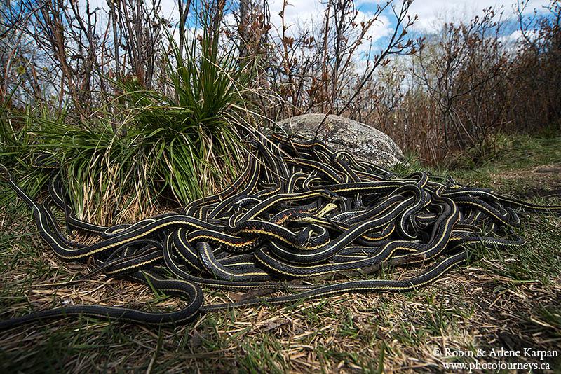 garter snakes, Fort Livingstone