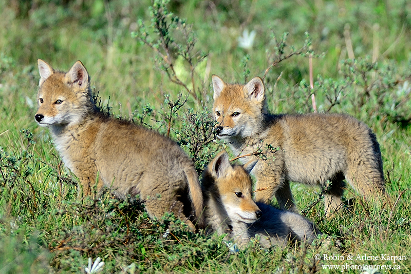 Predator Pups - Photographing Playful Coyotes - Photo Journeys