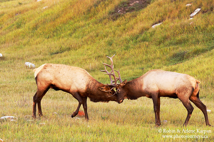 Elk, Jasper, Canada