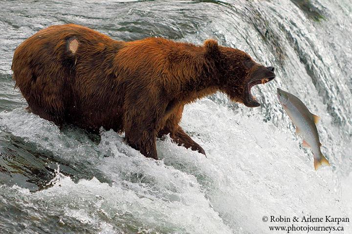katmai bear