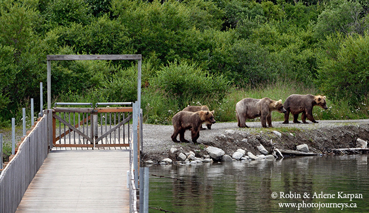 Brown bears, Brooks River