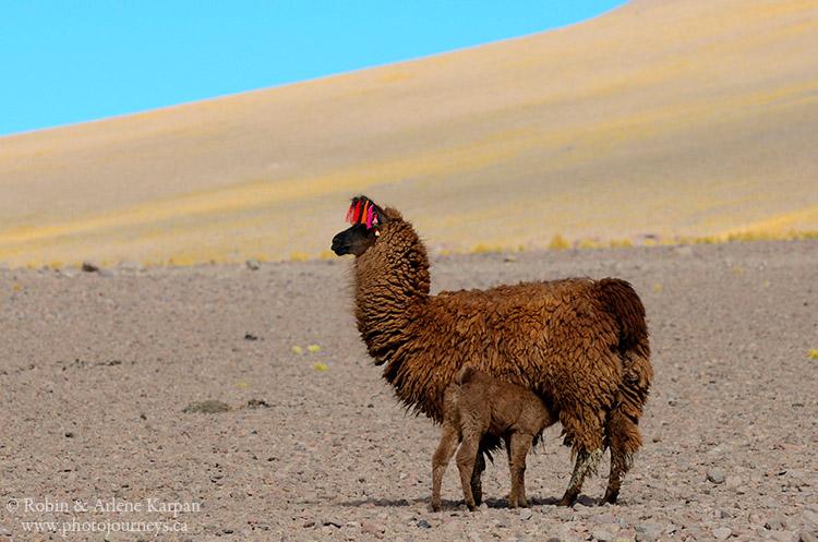 llamas, Bolivia