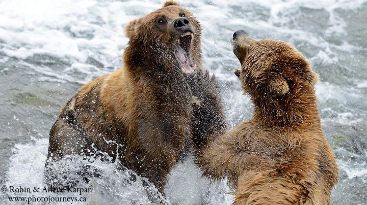 Brown bears, Katmai National Park, Alaska.