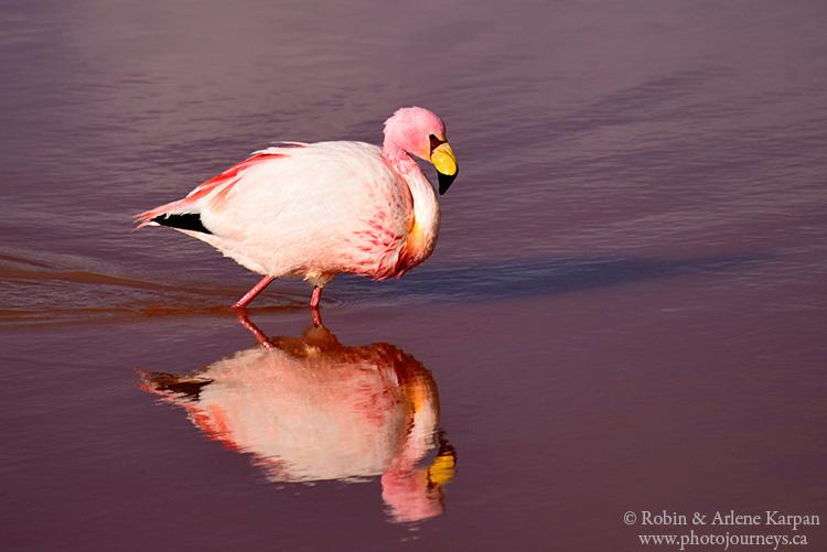 flamingo, Bolivia
