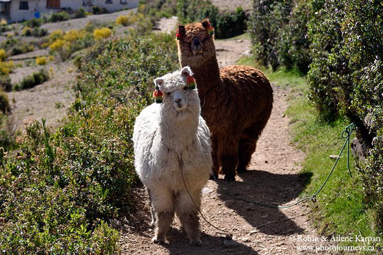 alpacas, isla del sol, bolivia
