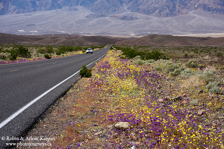 Death Valley wildflowers