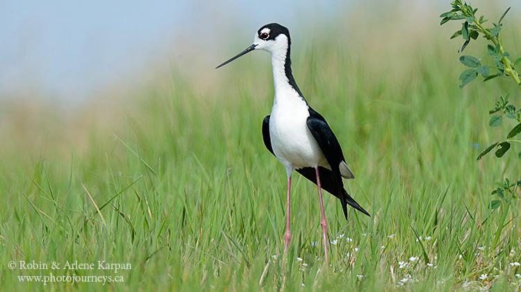 Black-necked stilt.