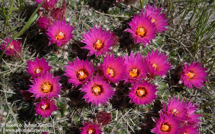 pincushion_cactus