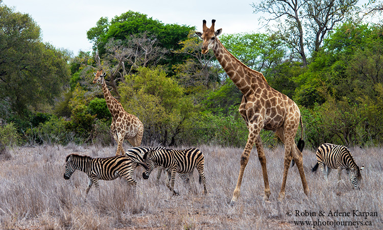 Giraffes and zebras, Kruger Park, wildlife
