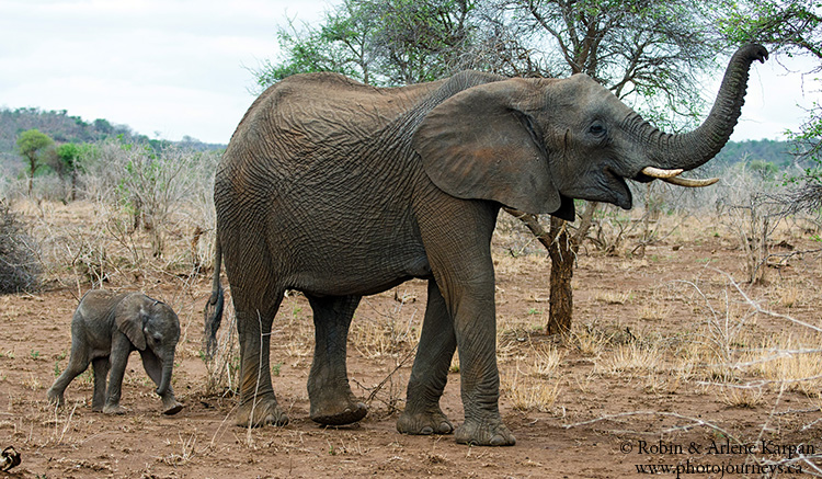 Elephants, Kruger Park, wildlife