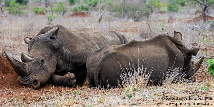 Rhinos, Kruger Park, wildlife