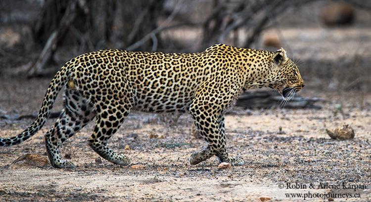 Leopard, Kruger Park, wildlife