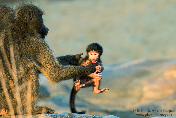 baby baboon, Kruger Park, wildlife