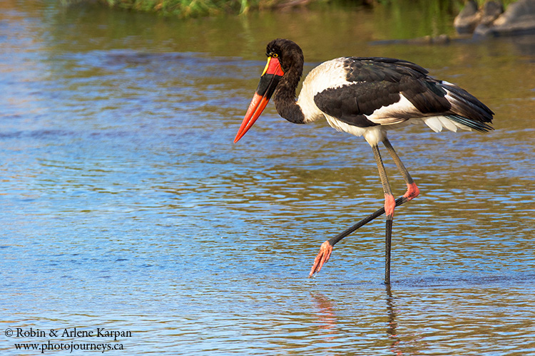 Saddle-billed stork, Kruger Park, wildlife