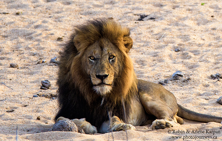 Lion, Kruger Park, wildlife