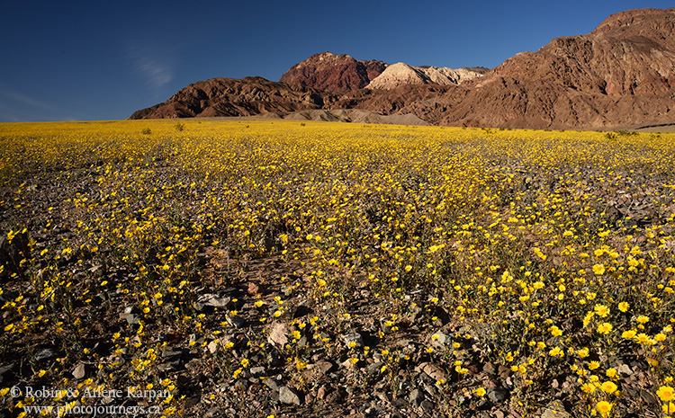 Desert Gold wildflowers, Death Valley, USA