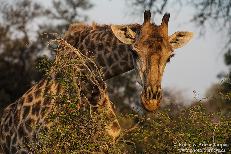 giraffe, Kruger National Park