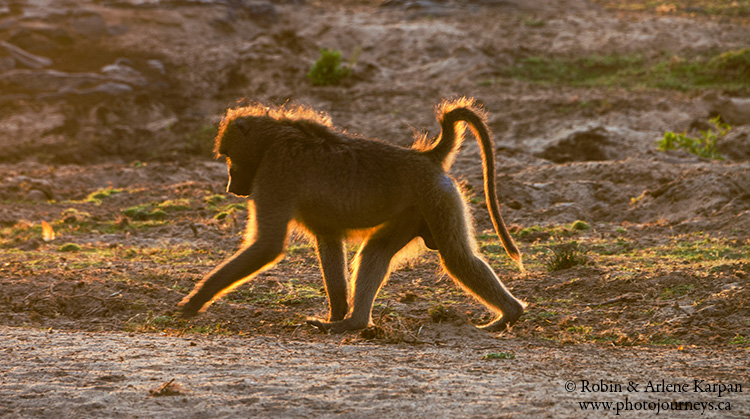 baboon Kruger National Park