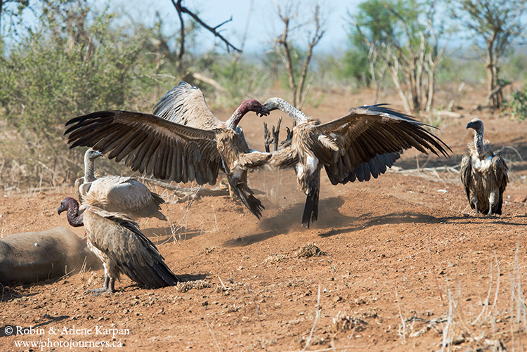 Vultures, Kruger National Park