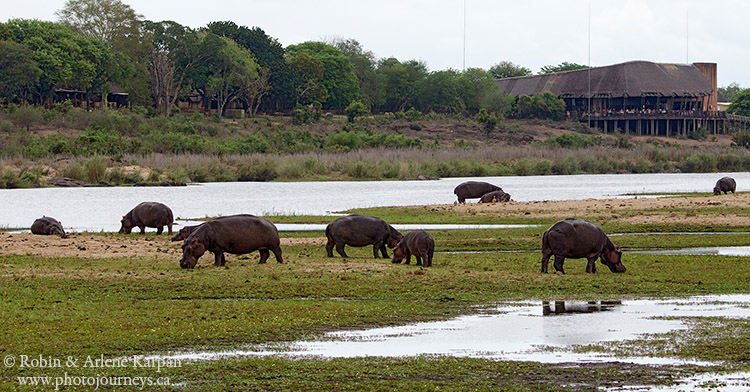 hippos, Kruger National Park