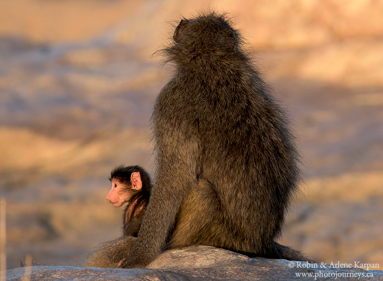 Baboon and baby, Kruger National Park