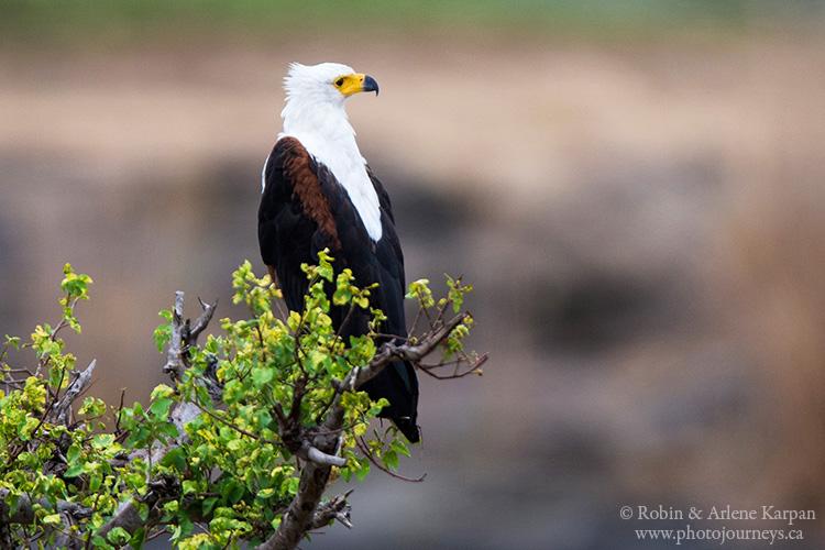 African fish eagle, Kruger National Park