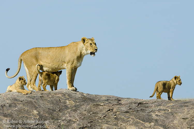 lioness and cubs, Tanzania
