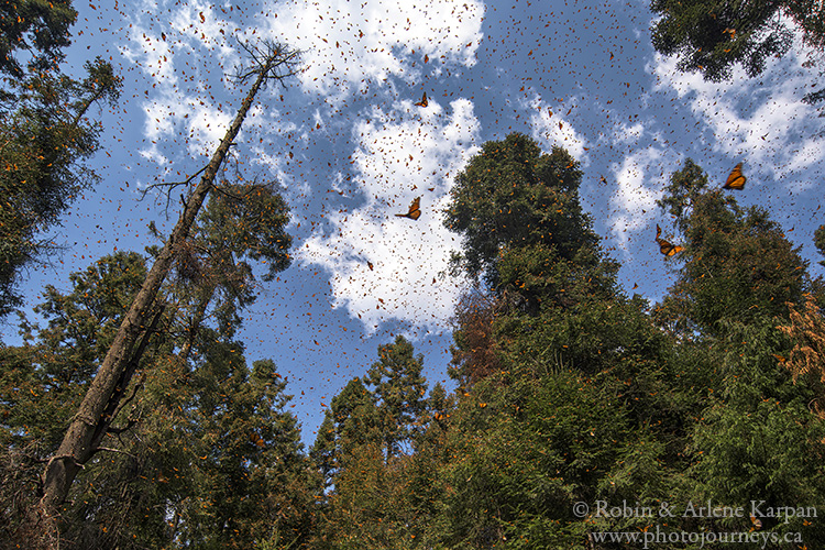 Monarch Butterflies at El Rosario, Monarch Butterfly Biosphere Reserve, Mexico.