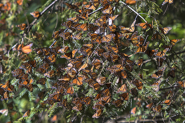 Monarch butterflies, El Rosario Monarch Butterfly Reserve, Mexico