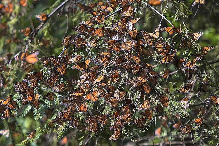 Monarch butterflies, El Rosario Monarch Butterfly Reserve, Mexico