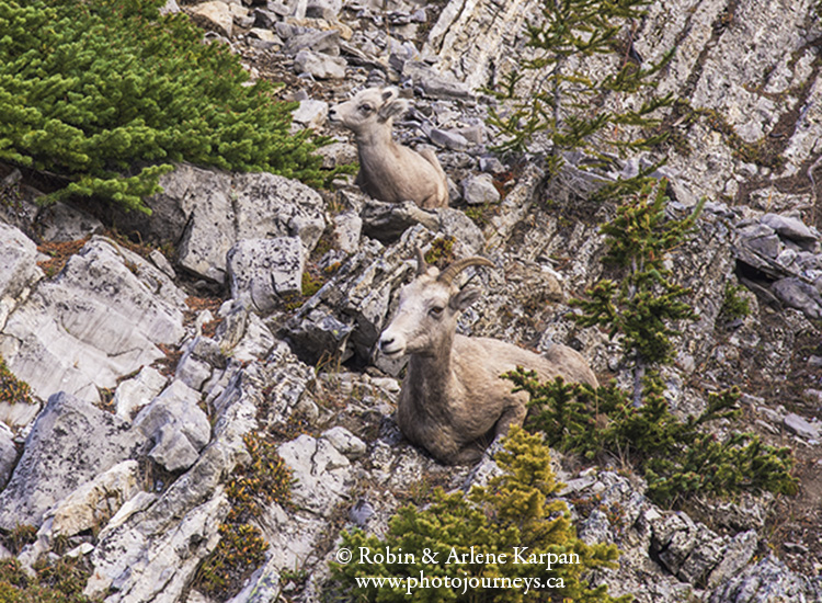 bighorn sheep, Banff National Park.