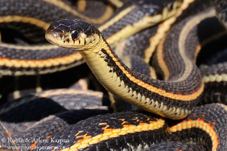 2558 garter snakes