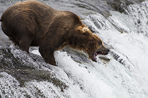 Alaskan Brown Bear and salmon Katmai National Park, Alaska, USA