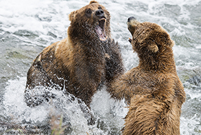Alaskan Brown Bears Katmai National Park, Alaska, USA