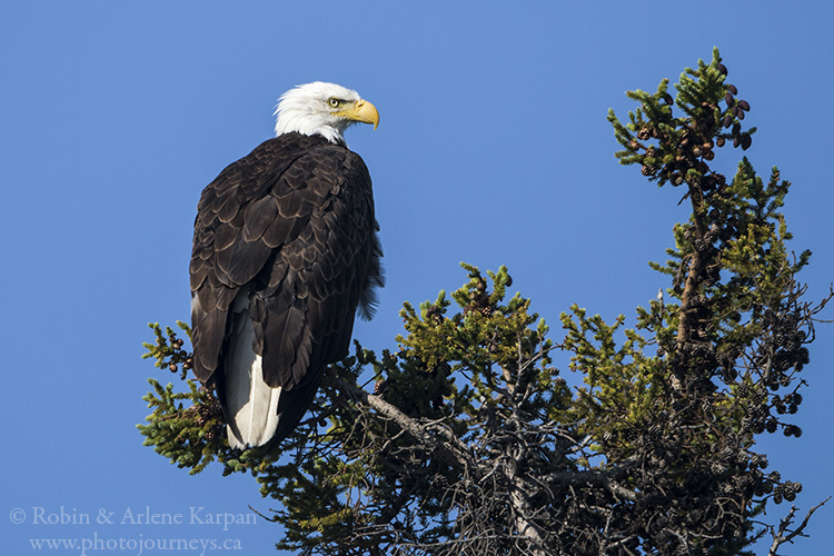 Bald Eagle, Lake Athabasca, Saskatchewan