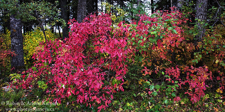 Red osier dogwood at Round Lake Recreation Site