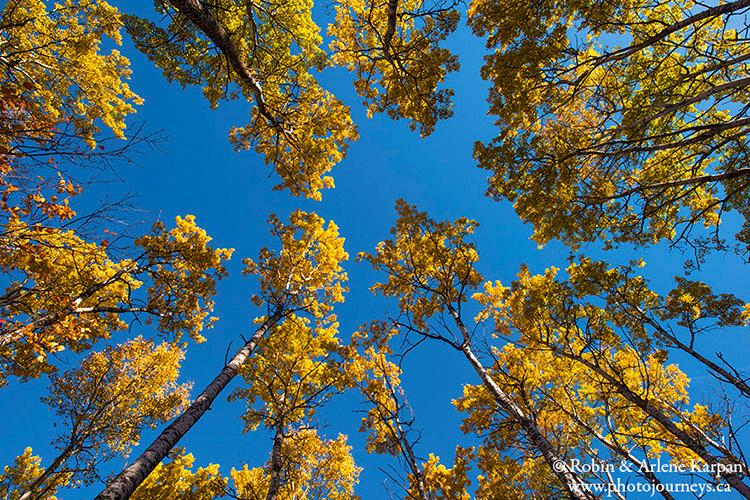 Trembling aspen trees, Thickwood Hills