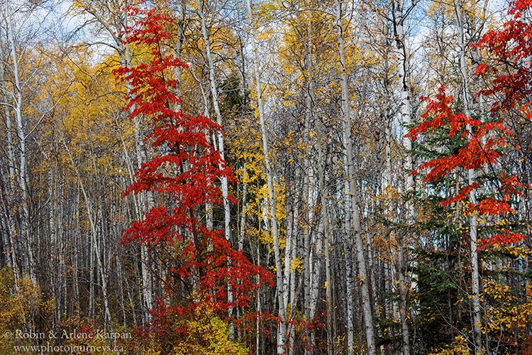 Ash trees, Prince Albert National Park