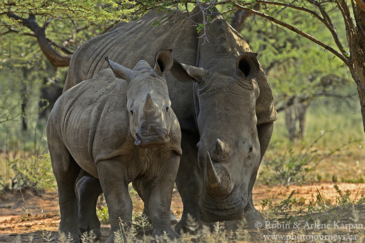 Rhinos, Marakele National Park, South Africa