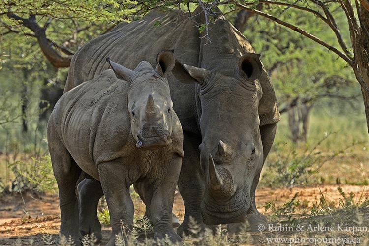 Rhinos, Marakele National Park, South Africa