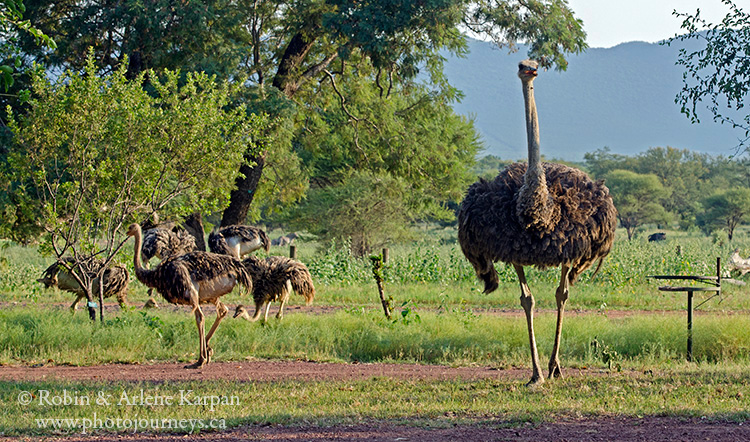 Ostrich, Marakele National Park, South Africa