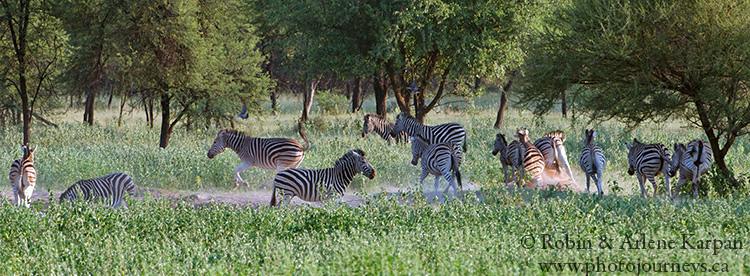 Zebras, Marakele National Park, South Africa