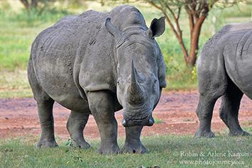 Rhino, Marakele National Park, South Africa