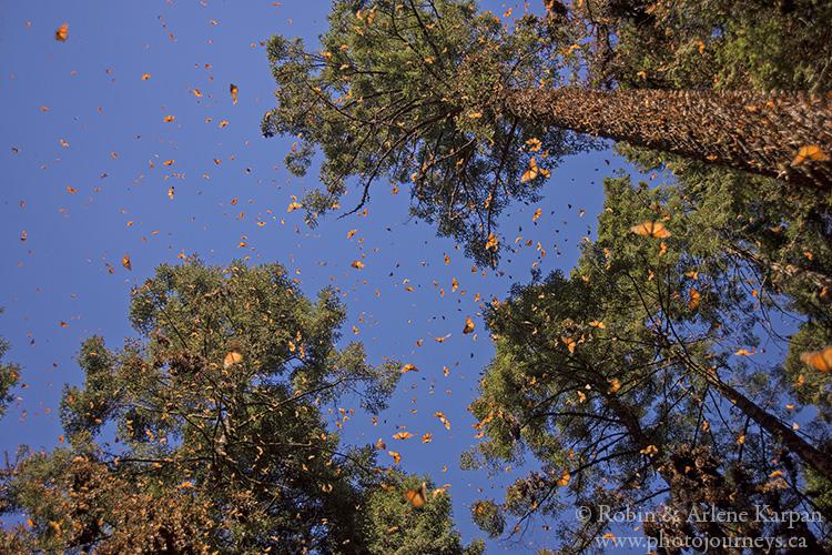 Monarch butterflies, Mexico