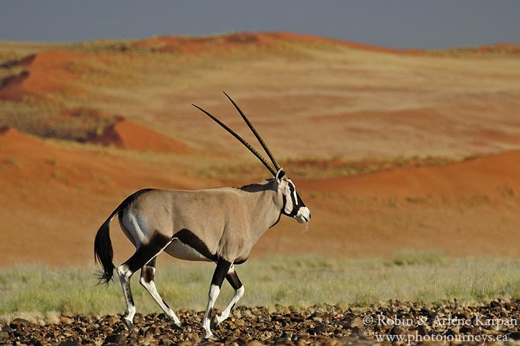 Gemsbok, Namibia