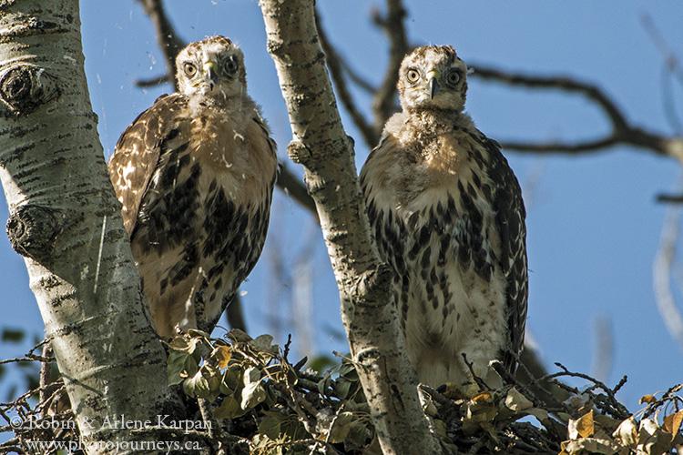 Red-tailed hawk, Saskatchewan