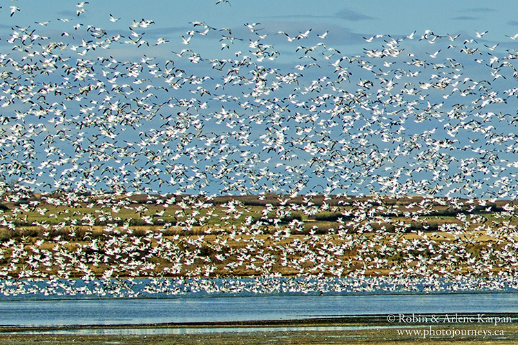 Waterfowl liftoff, Luck Lake, Saskatchewan